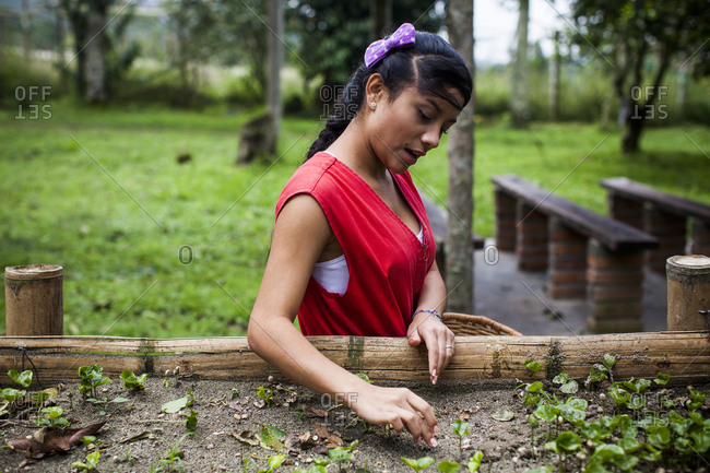 Colombia - February 6, 2014: Colombian woman prepares coffee plants