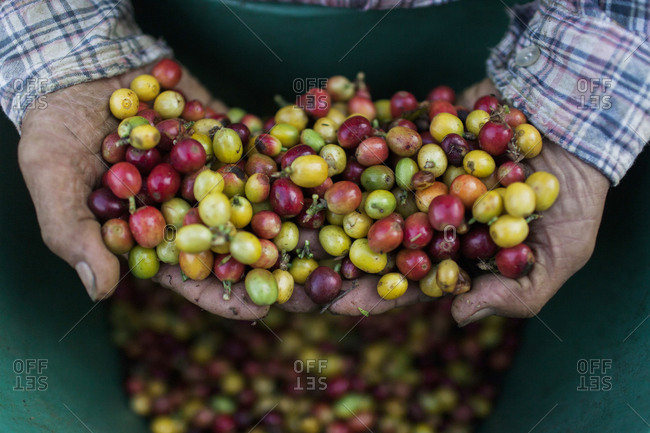 Coffee beans in man's hands, Colombia