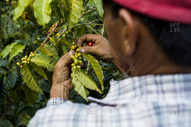 Man picking coffee beans, Colombia