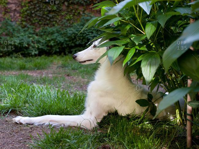 White dog resting in garden