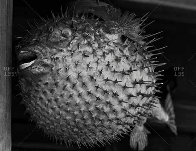 Dried porcupine fish, Tokyo