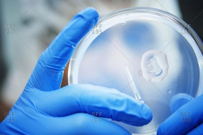 Close-up of scientist examining samples in petri dish at laboratory