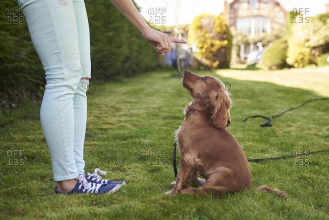 Owner training cocker spaniel puppy to sit in garden