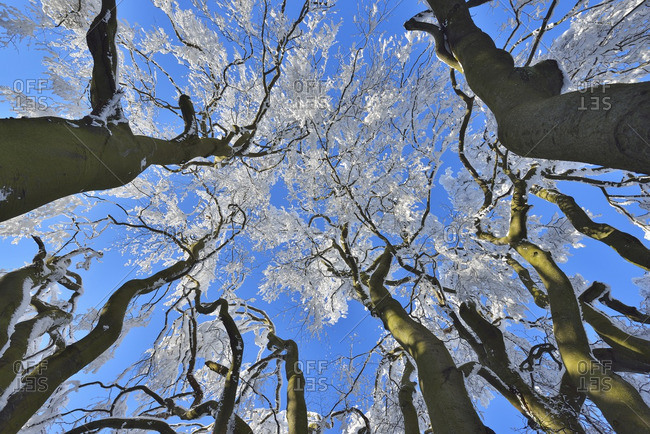 View into Snow Covered Beech Tree Tops in Winter, Grosser Feldberg, Frankfurt, Taunus, Hesse, Germany