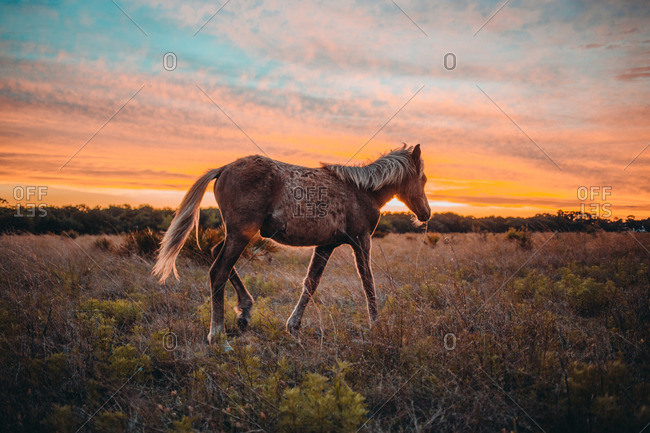 Wild horse walking in a field at sunset