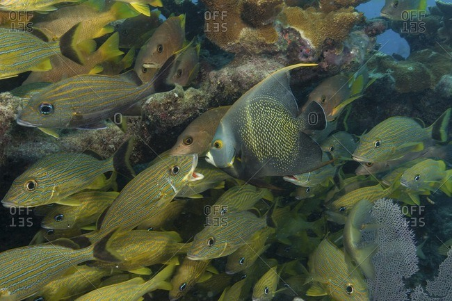 A solitary angelfish among a school of grunts and other tropical fish