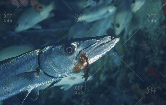 Close-up of a solitary barracuda