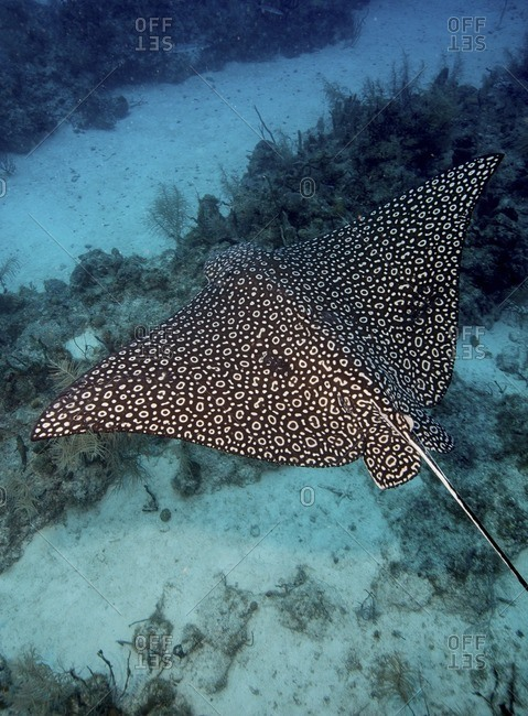 Spotted eagle ray swimming over a coral reef