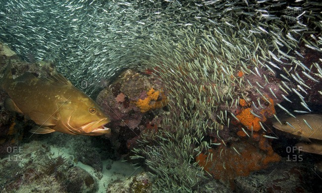 Large grouper swimming into a school of anchovies