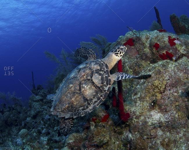 Sea turtle swimming near a coral reef