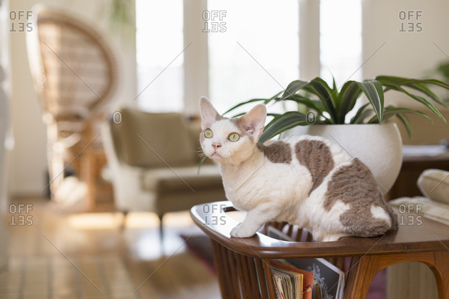 White and gray cat sitting on table in home