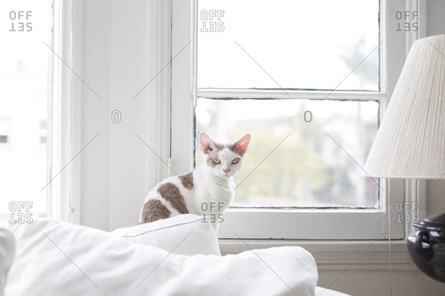 Portrait of mad-faced cat sitting by window