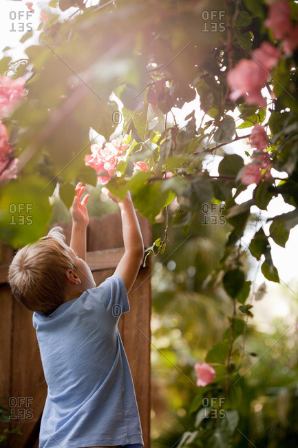 Young boy in garden, reaching up to touch flowers, rear view