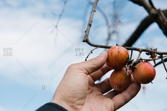 Farmers hand picking persimmon fruit, Missouri, USA