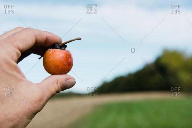 Farmers hand holding up persimmon fruit, Missouri, USA