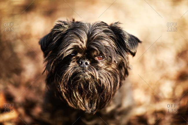 Close up portrait of shaggy Brussels griffon dog