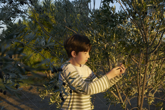 Boy picking an olive from a tree