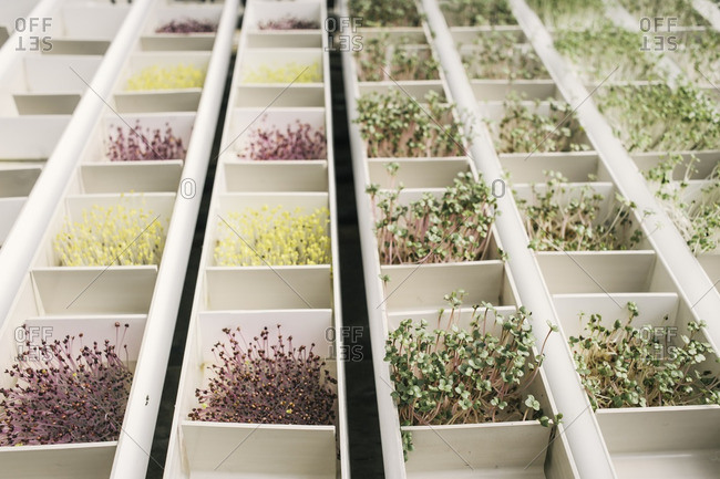 Rows of plants growing in white boxes