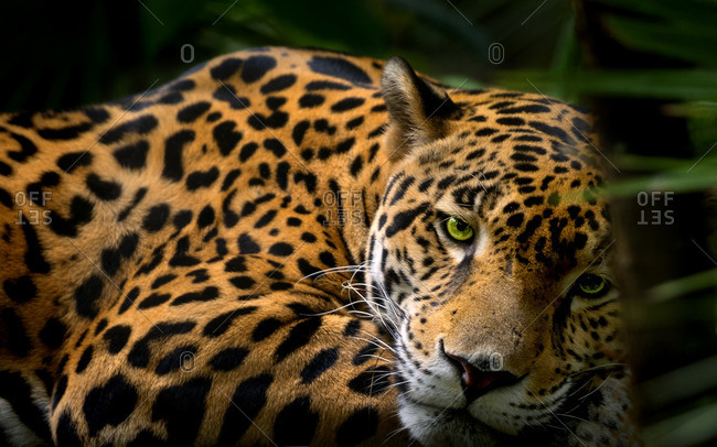 Close-up of a resting leopard