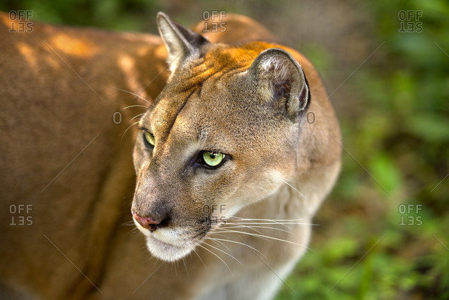 Close-up of a cougar