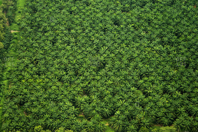 Aerial view of tropical palm tree forest