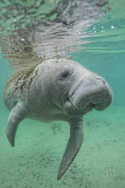 Manatee swims just below surface