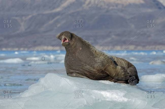 Walrus on coastal ice