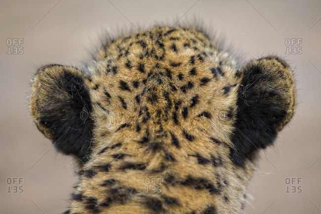 Close-up of a cheetah in South Africa