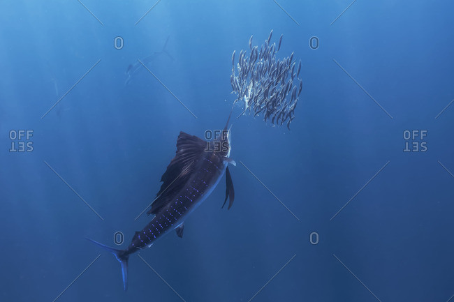 Swordfish swimming beside a school of smaller fish