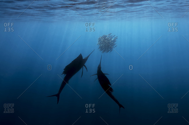 Two swordfish swimming beside a school of smaller fish