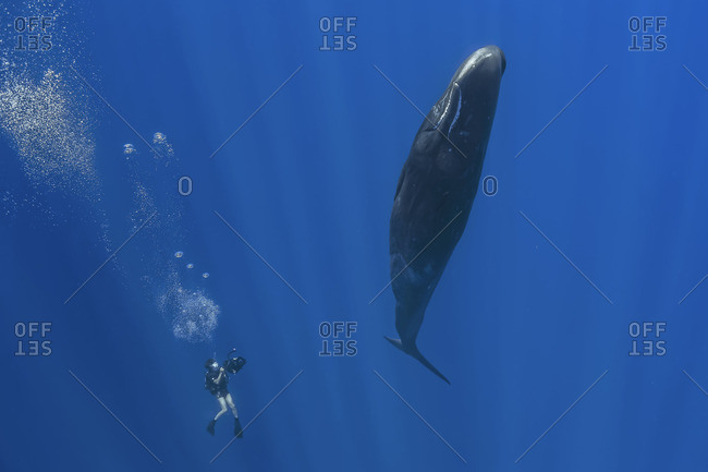 Sperm whale being filmed by a scuba diver in the Indian Ocean