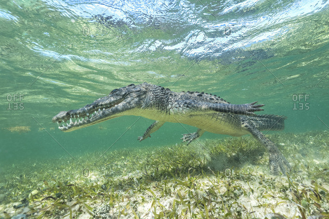American crocodile swimming along the atoll reef Banco Chincorro in Mexico