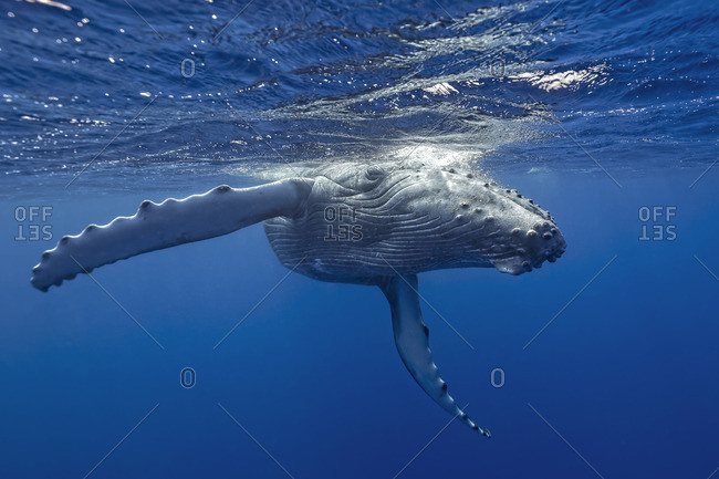 Humpback whale swimming in Vava'u, Tonga