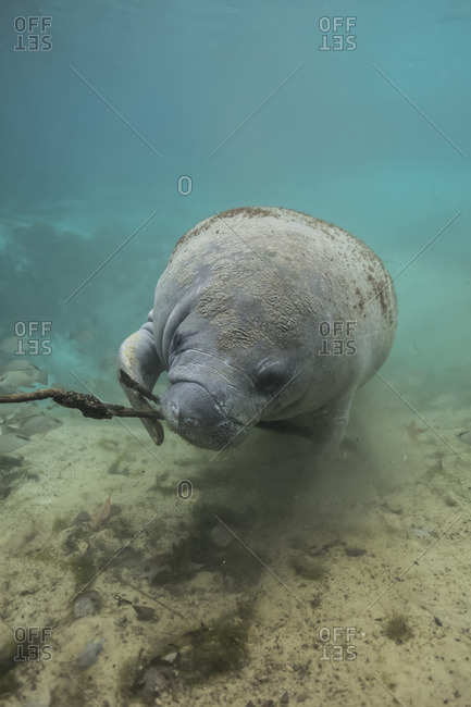 Manatee plays with a piece of wood off the coast of Florida