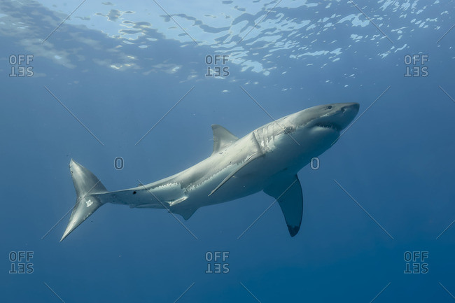 Great white shark swimming near Guadalupe, Mexico
