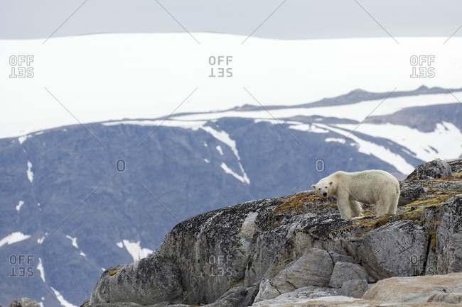 Polar bear standing on a rocky outcropping in Svalbard, Norway