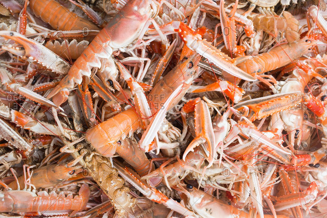 Pile of fresh caught Norway lobster