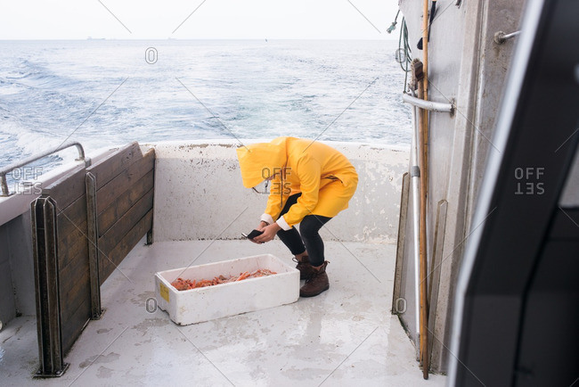 Female fisherman in a yellow jacket taking picture of lobster