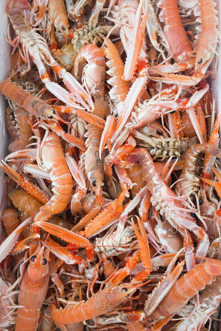 Group of fresh caught Norway lobster