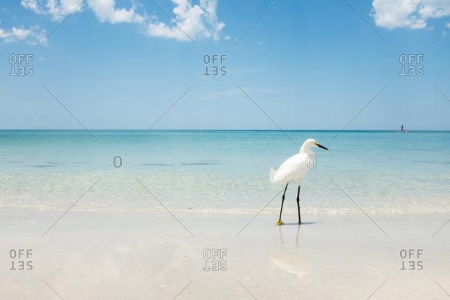 Egret walking along the beach