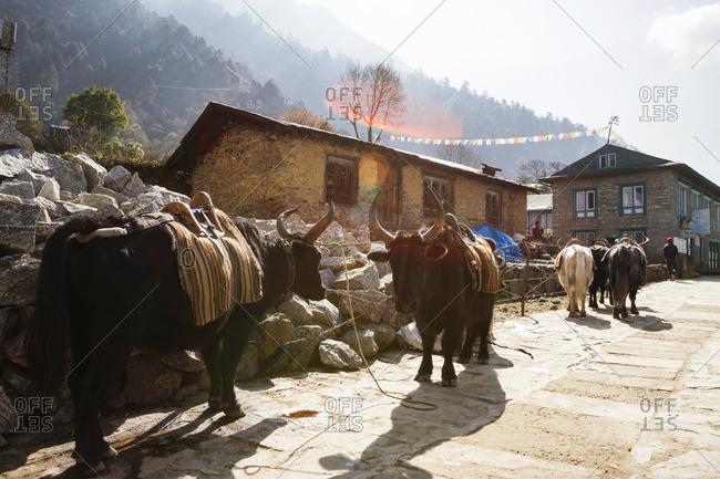 Bulls on footpath at Mt. Everest