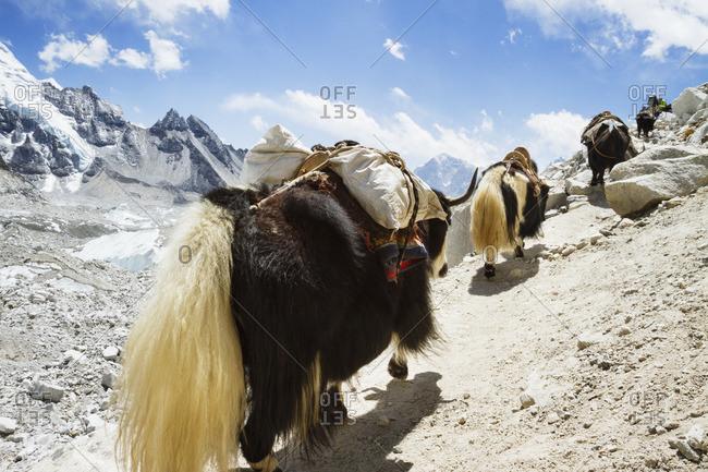 Yaks walking on footpath at Mt. Everest against sky