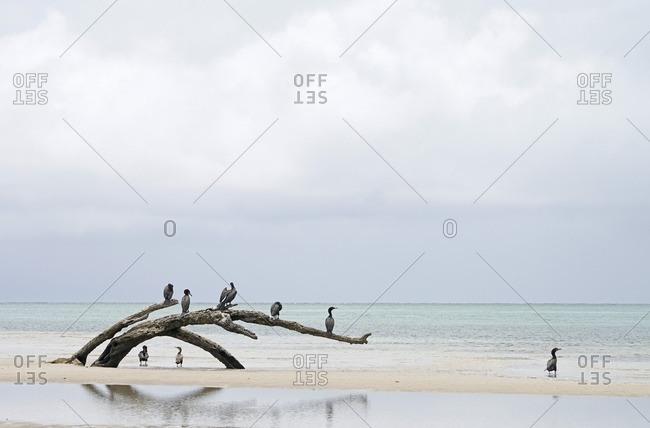 Florida cormorant perched on a dead tree stump along a Florida shoreline