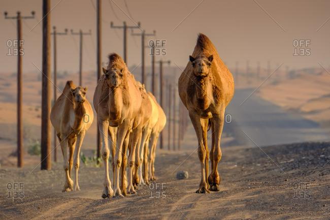Camels on desert road, UAE