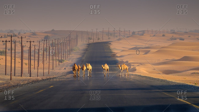 Camels on a road in UAE