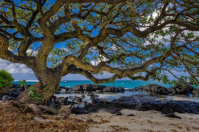 Coastal tree in Mauritius