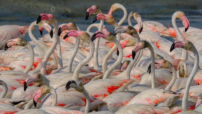 Flamingo flock on alert