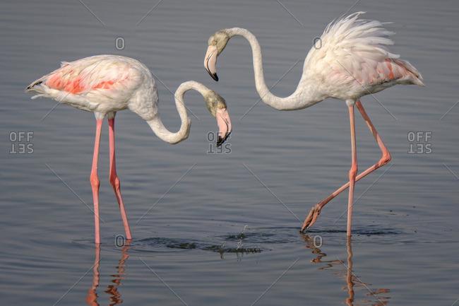 Flamingo pair in water