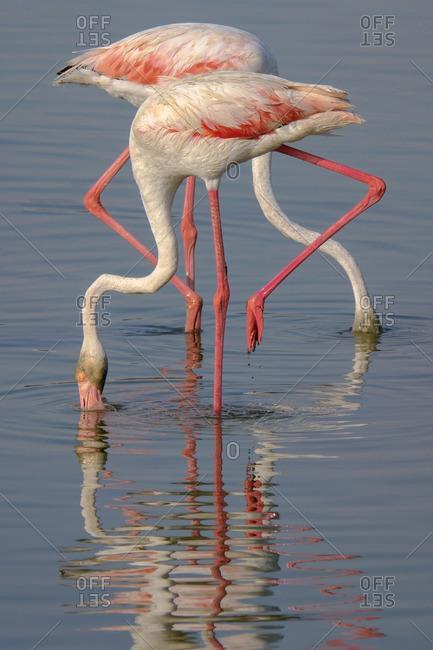 Flamingo pair standing in water