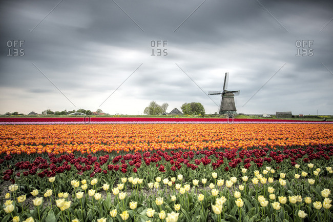 Spring clouds over fields of multicolored tulips and windmill
